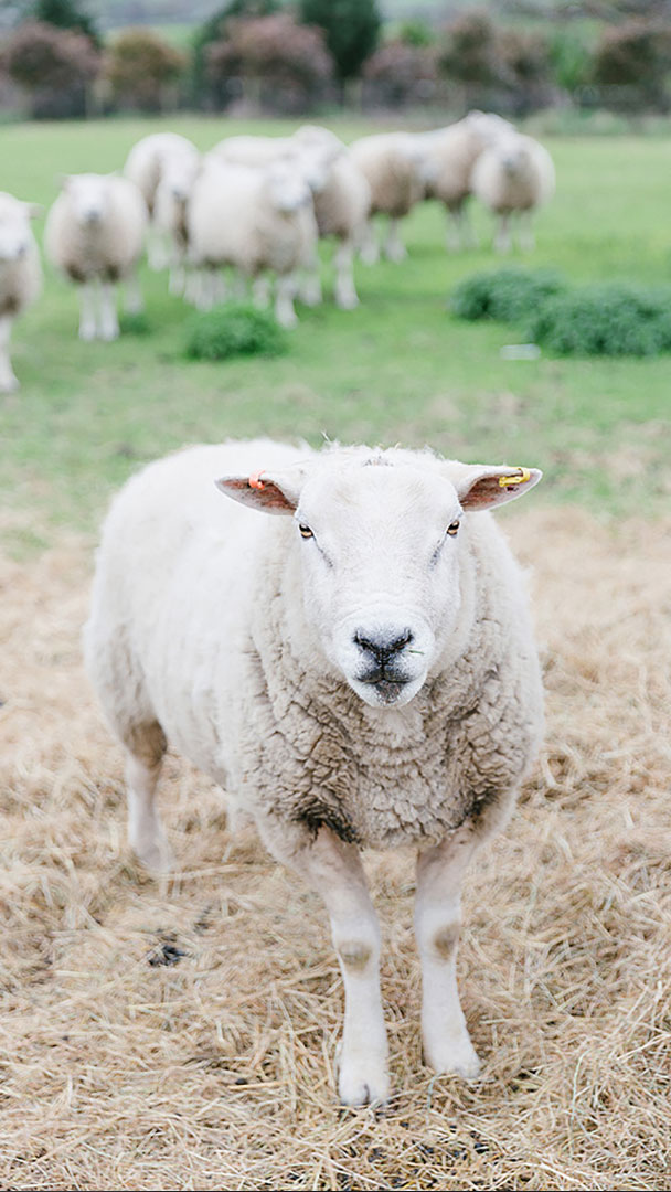 Sheep graze the surrounding fields of this charming countryside wedding venue in Essex