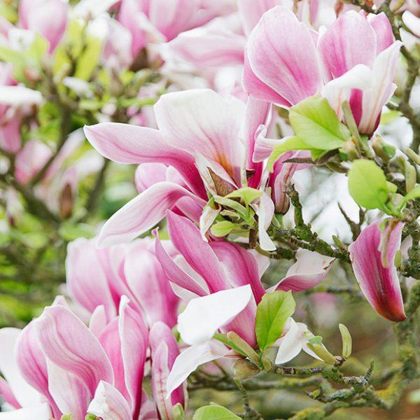 A close up of a magnolia tree – spring wedding ideas